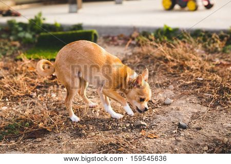 Young, petite chihuahua puppy sniffs the ground in a back yard, fall time, autumn/winter setting.