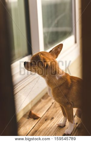 A chihuahua puppy waits outside by the door on a wooden deck.