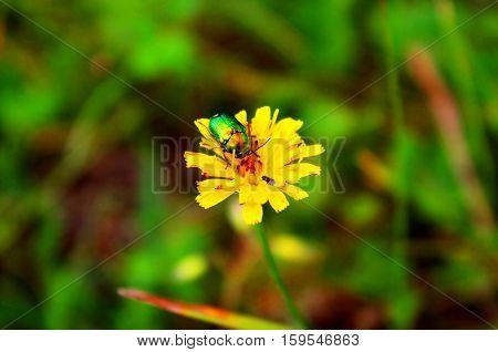 Bug (Cetonia aurata) on yellow flower in the garden