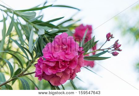 Pink oleander  flower nature tropical symbol close-up