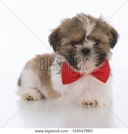shih tzu puppy wearing red bowtie on white background