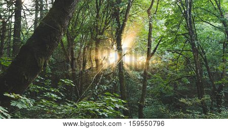 Sun rays shine through the trees in a thick, lush forest.