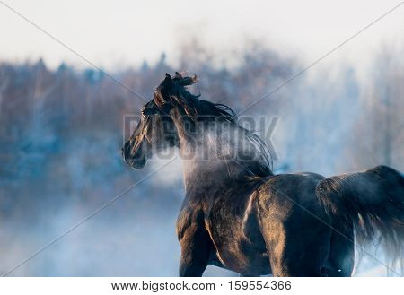 The black horse winter portrait in action