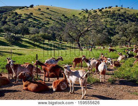 Via de la Plata way goats by Sierra Norte Seville in Spain