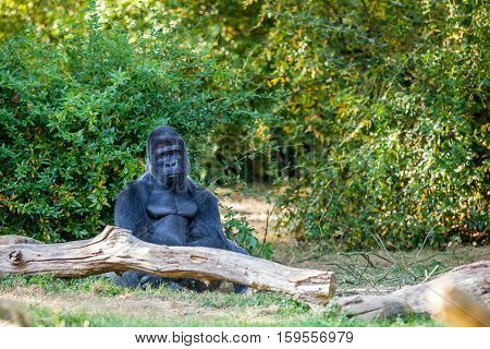 silverback gorilla sits and watches his herd