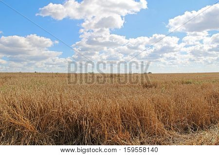 Gold wheat field and blue sky with white clouds.