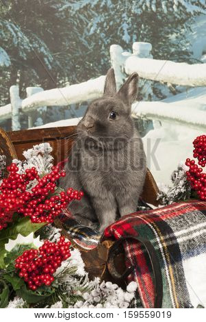 A rabbit sits in a sleigh with holly berries and evergreen.