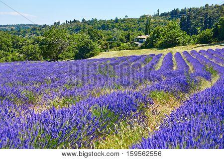 Beautiful Blooming Lavender Field