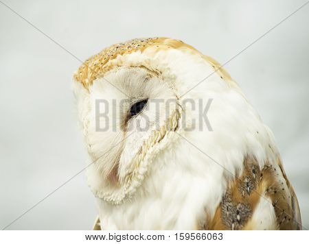 Brown and white coloured barn owl on a perch