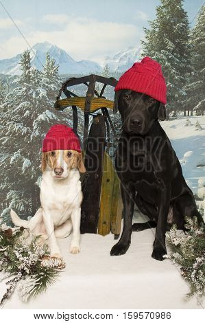 Two dogs sit out in the snow with a sled and wearing touqes