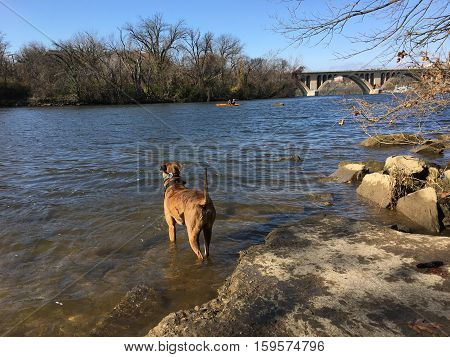 Brown striped dog plays in the Potomac River