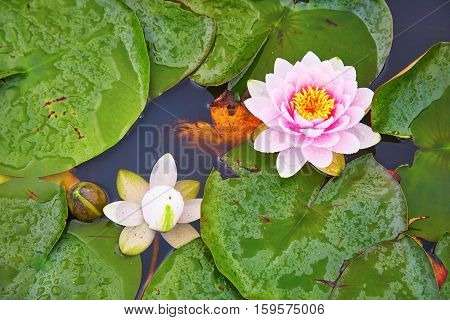 White And Pink Waterlilies In A Pond