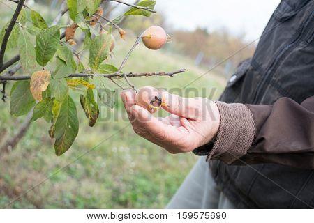 Elderly Man Picking Up Medlar Fruit