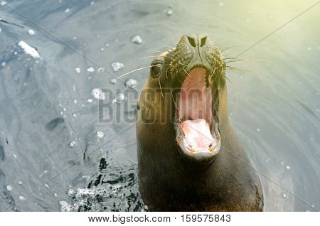 Bautiful sea lion (Otaria byronia - South American Sea Lion) with open mouth. Useful file to illustrate animal diveristy protection in your book brochre or flyer.