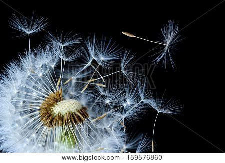 Dandelion blowing. nature dandelion. seeds, studio dandelion