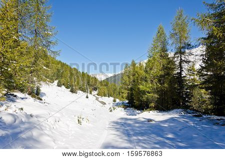 Mountains covered with snow blue sky and green pines