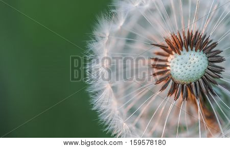 Dandelion at sunset. Dandelion. Nature dandelion. summer
