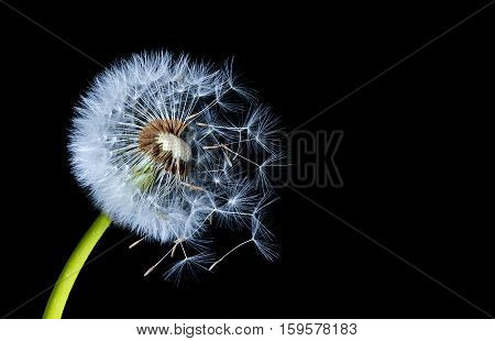 silhouettes of dandelions in the wind on black background