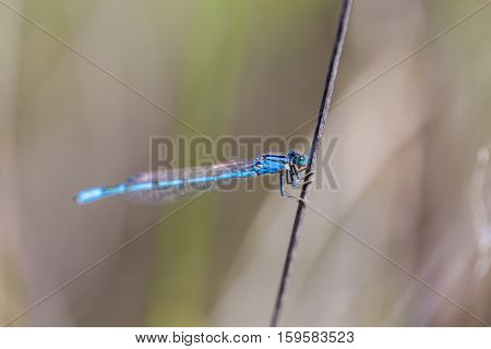 Blue damsel fly in clinging to a branch in central Mexico.