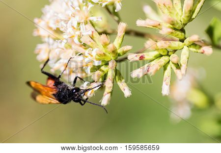 The Great Golden Digger Wasp is a benign, gentle insect currently being studied by scientists for its behavioral responses.  It lays its eggs on other insects buried in tunnels in the ground.