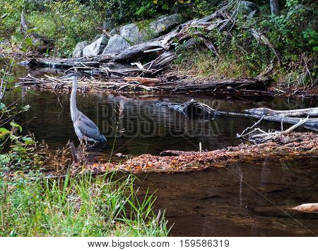 Blue Heron wading in a stream in New Hampshire