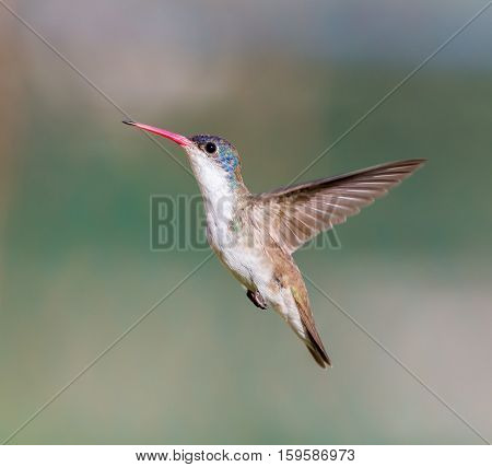 Violet Crowned Hummingbird. Using different backgrounds the bird becomes more interesting and blends with the colors. These birds are native to Mexico and brighten up most gardens where flowers bloom.