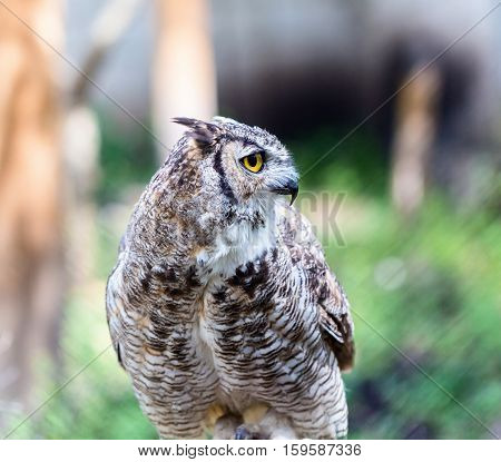 The great horned , also known as the tiger  or the hoot owl, is a large bird native to the Americas. It is an extremely adaptable bird with a vast range and is a common  true one in the Americas