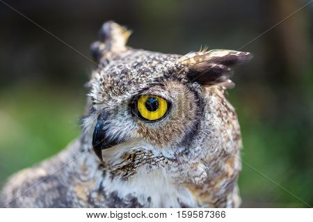 The great horned , also known as the tiger  or the hoot owl, is a large bird native to the Americas. It is an extremely adaptable bird with a vast range and is a common  true one in the Americas poster