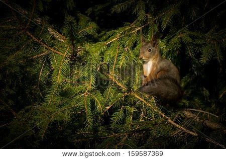 A squirrel is sitting on a spruce branch, sunbathing