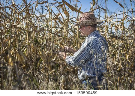 horizontal image of a caucasian farmer  checking a cob of corn in his cornfield close to harvest time in the fall time.