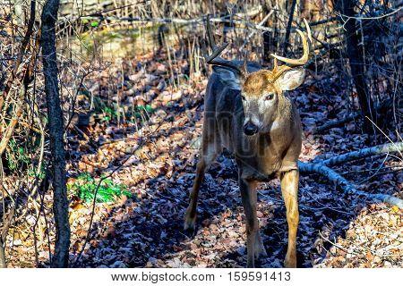 White-tail buck deer (odocoileus virginianus) coming down a deer trail in Wisconsin.