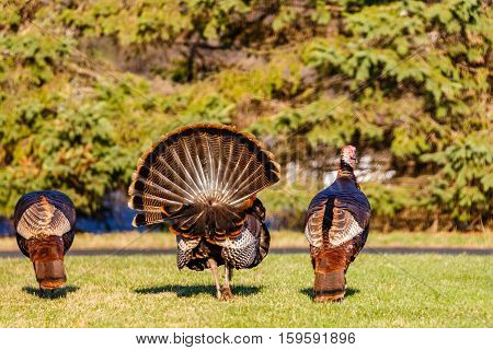 Three male wild turkeys in search of a female during the spring beeding season in Wisconsin.