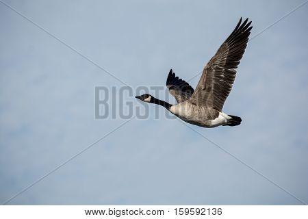 Single Canada Goose in Flight in a blue sky
