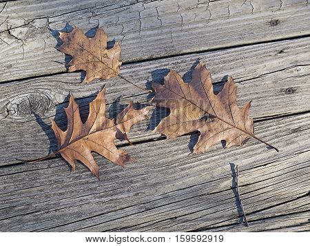 Lying on a weathered wooden boardwalk on which they have fallen three oak leaves bask in the thin sunlight of late autumn in woods in southeastern Michigan.