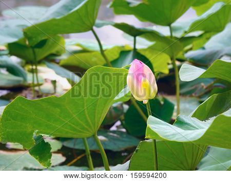 Lotus flower on flied in Volga river