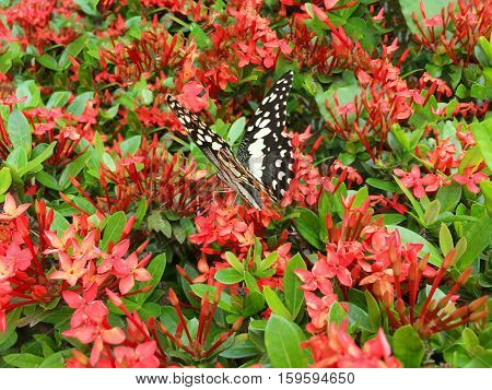 Butterfly sucking pollen flowers of Ixora flower.