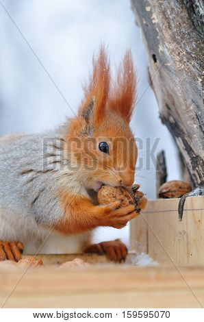 Red Squirrel Gnaws Nuts