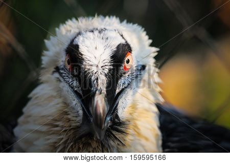 Eagle Vulture Portrait