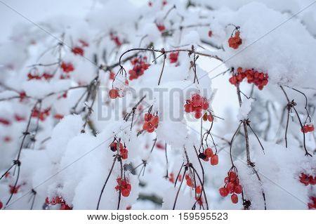 Red Viburnum In The Snow