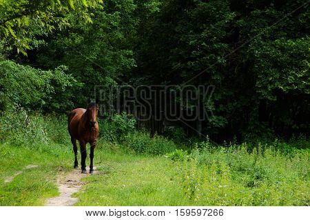 tethered horse grazing on the background of trees