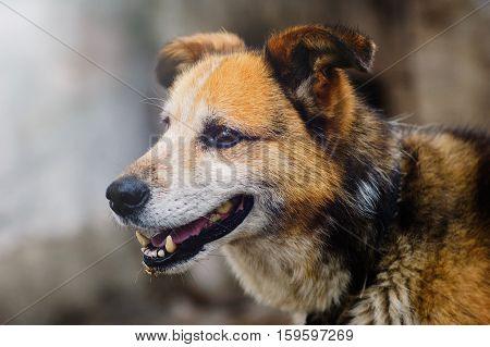 rustic dog on a leash portrait brown, animal