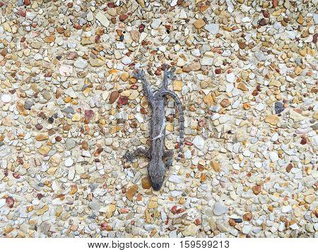 Hemidactylus or Lizard perched on a wall