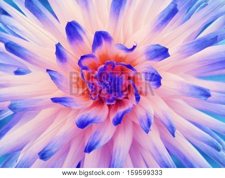 Dahlia flower white-blue-red. Petals colored rays. Closeup. Beautiful dahlia in bloom for design. Nature.