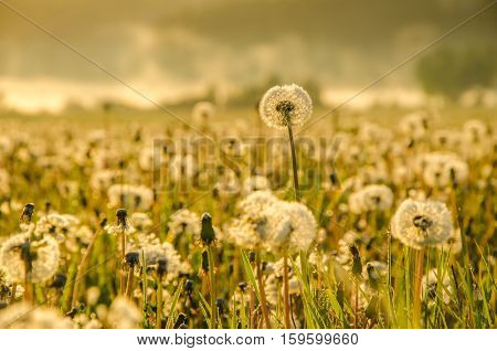 glade of dandelions in the fog.  early morning. dandelion.