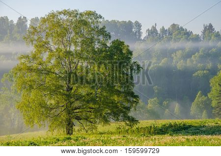 lonely tree and forest in the dense fog. Summer forest in thick morning fog. forest in the dense morning fog. early morning.
