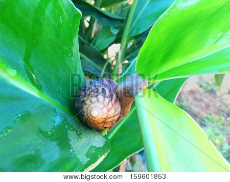 Snails caught on the leaves of the ginger.
