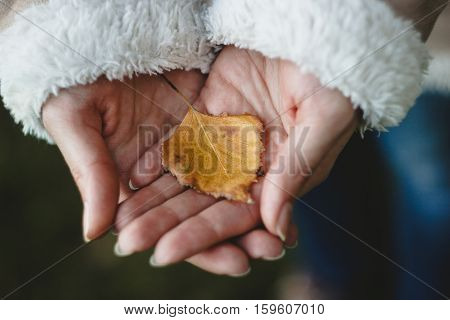woman's hands holding yellow leaf of birch (Betula)