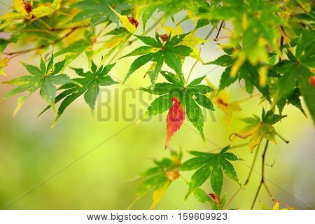 Beautiful Reddening Japanese Maple
