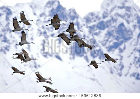 Flock of Sandhill Cranes in flight migrating north