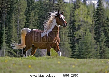 Beautiful Paint Gelding running in spring meadow with spruce forest in background